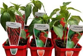 Chilli-Pepper-Capsicum-Plants on sale